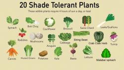 Cây rau ưa bóng tiếng Anh là gì? Tên 20 loại cây rau ưa bóng tiếng Anh